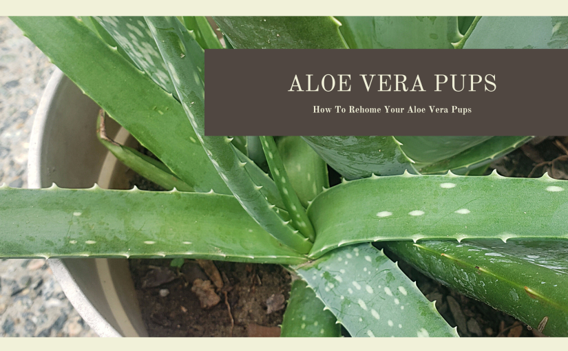 How to Separate Aloe VeraPups